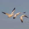 Three Geese in Formation