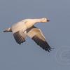 Snow Goose Wings Down