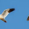 Snow Geese Salton Sea