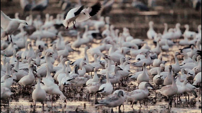 Snow Geese Roosting