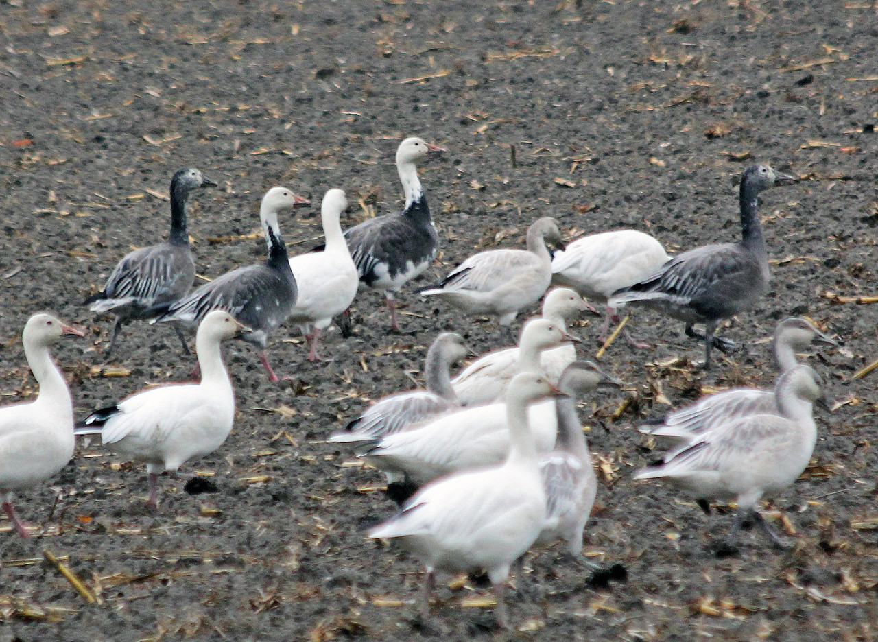 Blue Morph Snow Geese      At one time considered it's own species Blue Goose