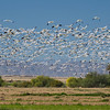 Snow Geese in flight - thousands of them!!