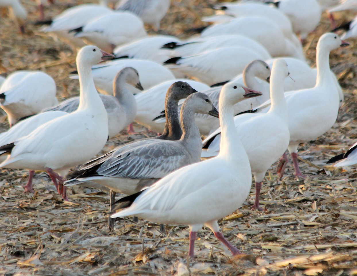 Blue Morph Snow Goose at center      At one time considered it's own species Blue Goose