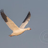 Snow Goose Wings Up