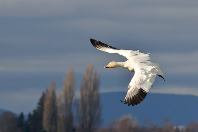 Snow geese (Chen caerulescens) near Conway, Washington