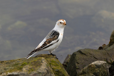 Snowbunting202A0311