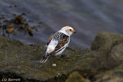 Snowbunting202A0406