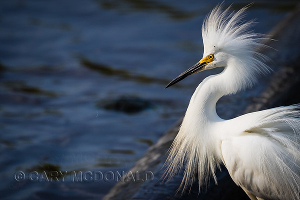 Snowy egret with a nice dew!