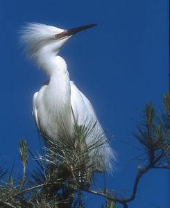 Snowy Egret - W. Ninth Street, Santa Rosa, California
