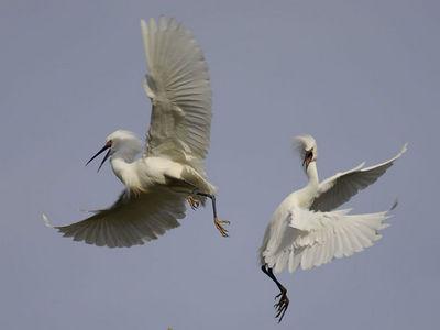 Snowy Egrets - W. Ninth Street, Santa Rosa, California