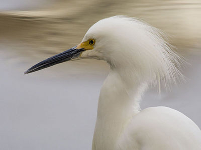Snowy Egret Portrait - 03/04/06 - Howarth Park, Santa Rosa, California