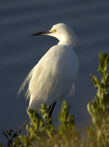 Snowy Egret - Shollenberger Park, Petaluma, California