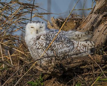 2017Nov21_Snowy Owl Lorain Lot_0330
