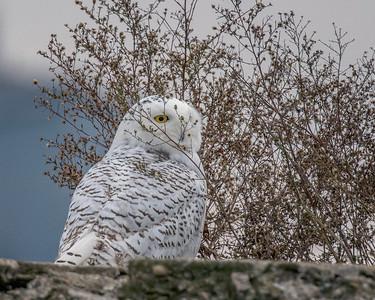 2017Nov15_Snowy Owl_0407