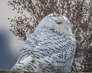 2017Nov15_Snowy Owl_0275
