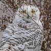 2017Nov15_Snowy Owl_0417