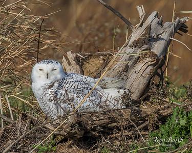 2017Nov21_Snowy Owl Lorain Lot_0106