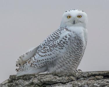 2017Nov15_Snowy Owl_0486 B