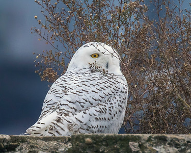 2017Nov15_Snowy Owl_0333