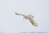Female snowy owl diving