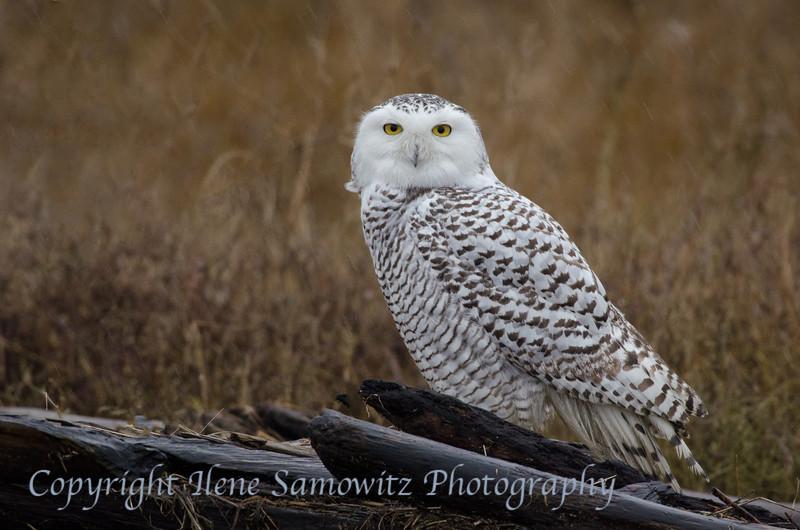 Snowy Owl #3 at Boundary Bay