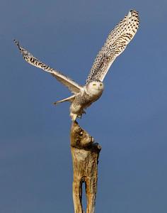 Snowy owl Liftoff