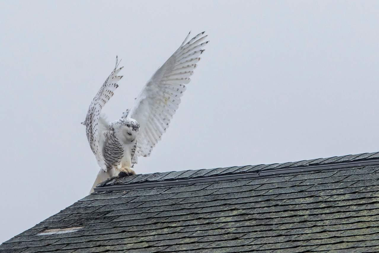12-11-2015 Snowy Owls 239 SM