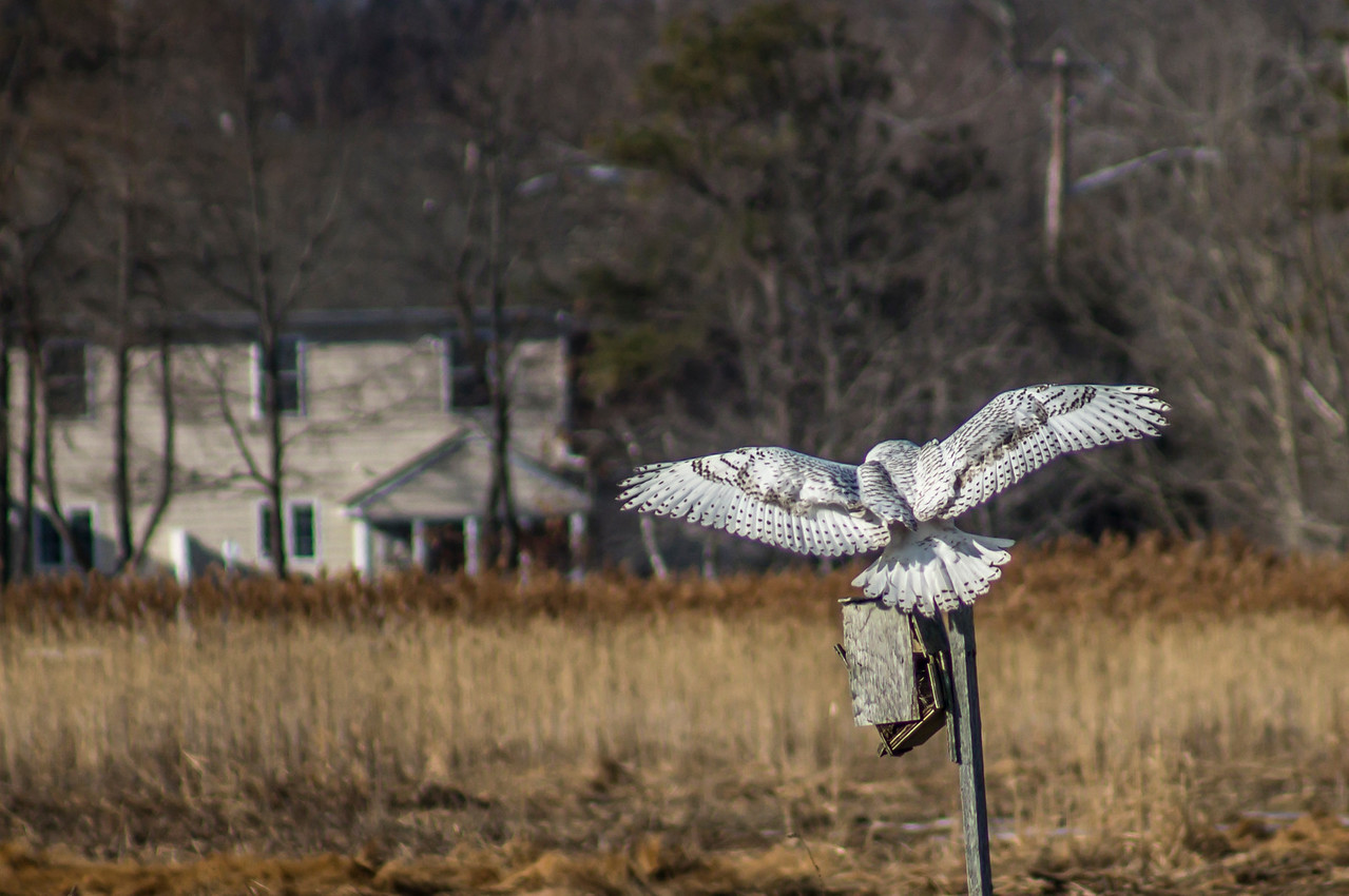 1-17-2014 Snowy Owls 219 Crop SM