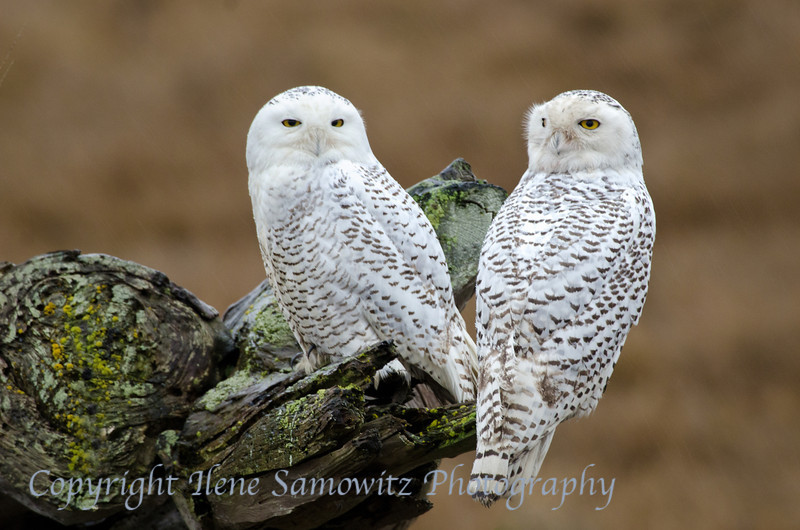 Snowy Owl Pair at Boundary Bay<br /> Tsawwassen, Greater Vancouver, BC, Canada