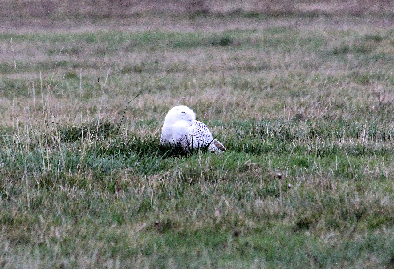 Snowy Owl Sleeping