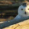 IMG_2701 - Snowy owl