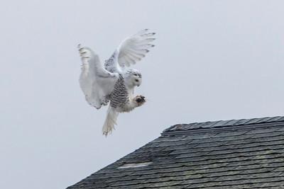 12-11-2015 Snowy Owls 237 SM