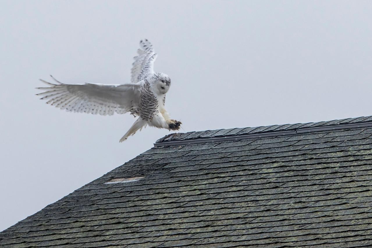 12-11-2015 Snowy Owls 238 SM