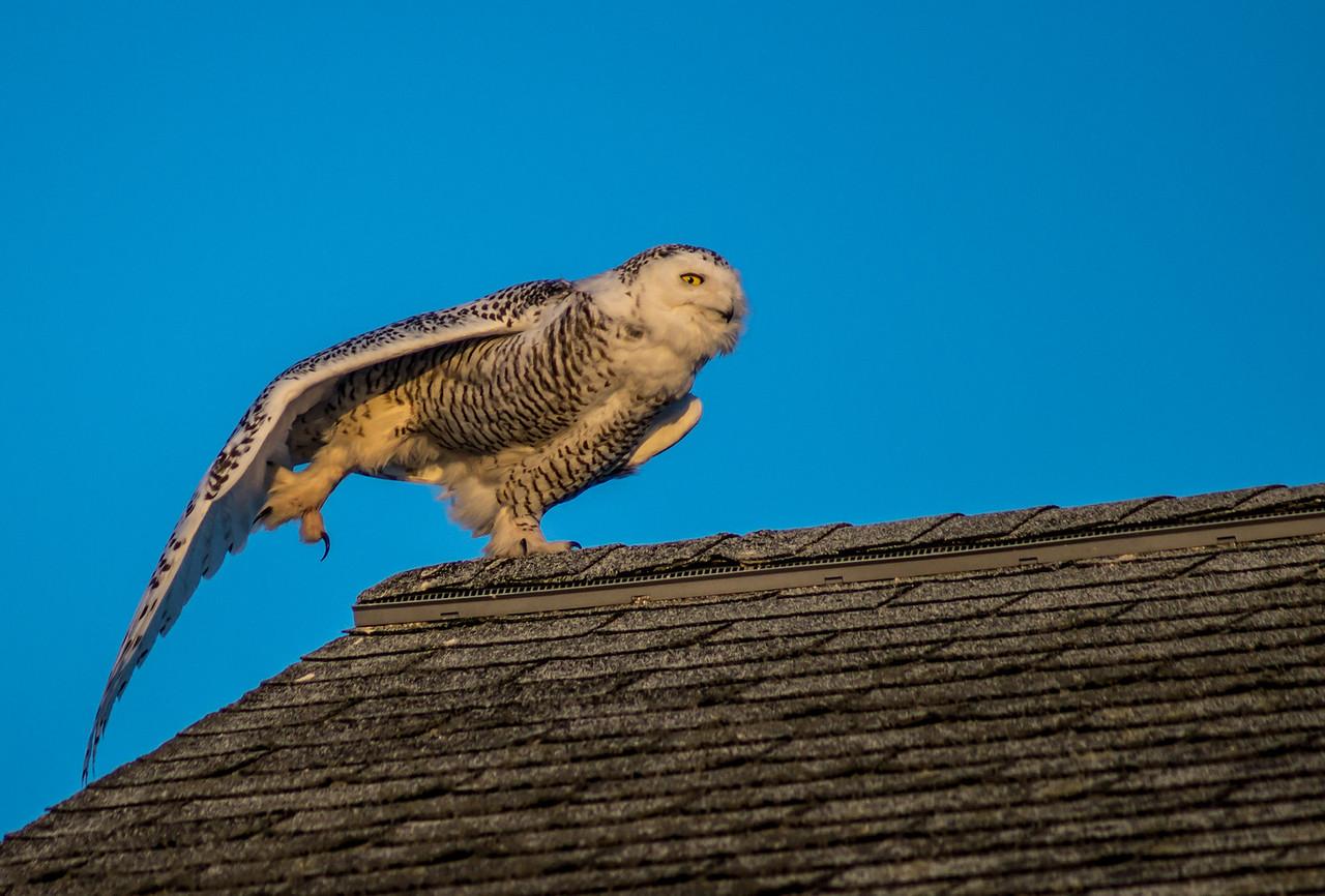 3-11-2014 Snowy Owls 0679 SM