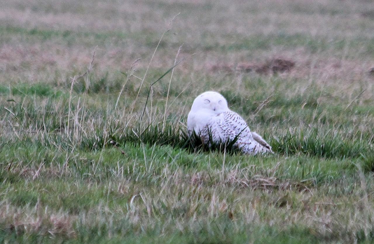 Sleepy Snowy Owl