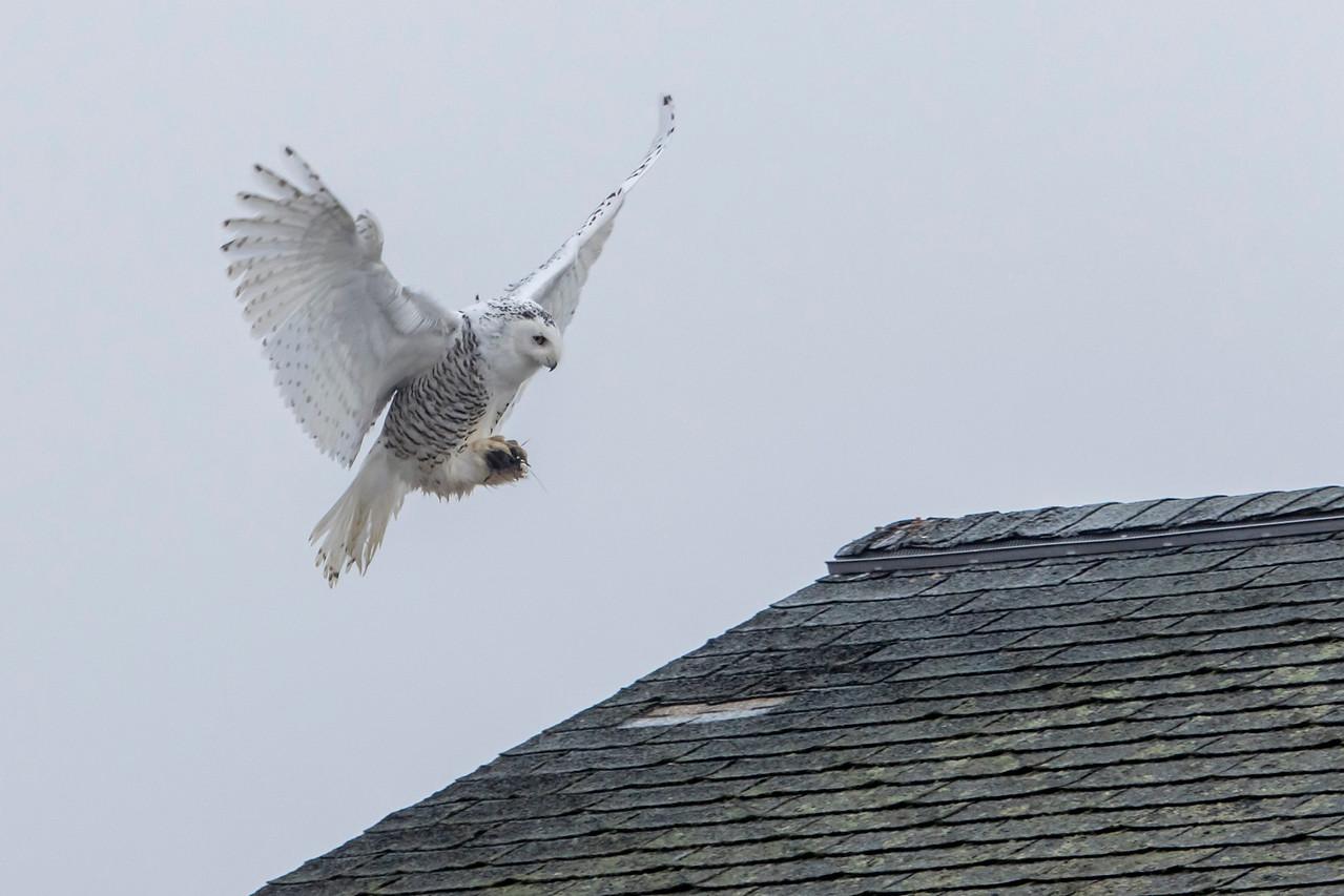 12-11-2015 Snowy Owls 236 SM