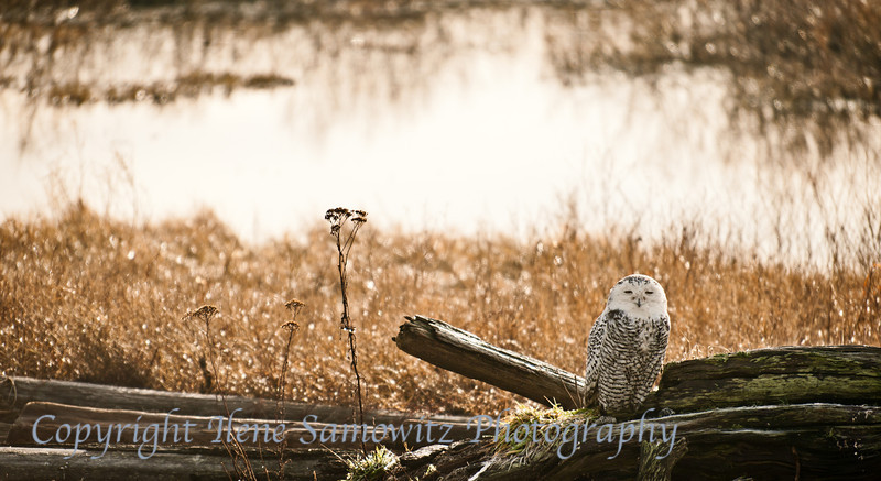 Snowy Owl Environmental Portrait