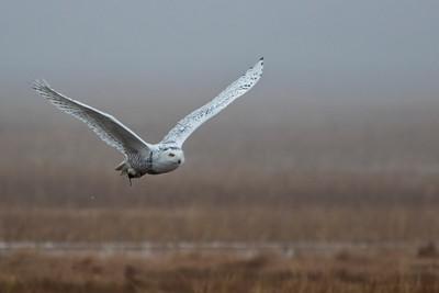 12-11-2015 Snowy Owls 231 SM