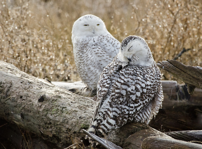 Preening Owl with an Onlooker<br /> Boundary Bay, British Columbia, Canada