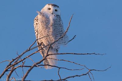 Snowy owl0U2A8688