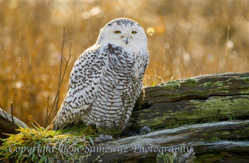 Snowy Owl in Morning Light