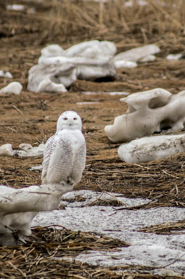 2-3-2014 Snowy Owls 026 SM