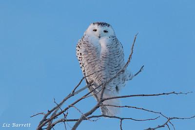 Snowy owl0U2A8673
