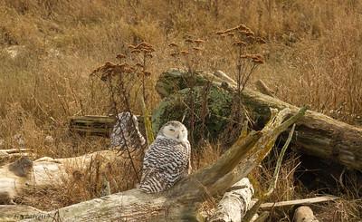 IMG_3982Snowy Owl