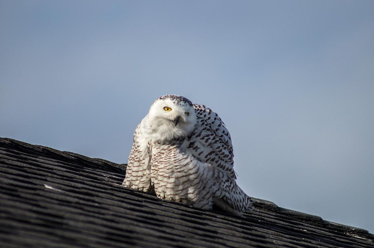 2-25-2014 Cecelia the Owl 506 SM