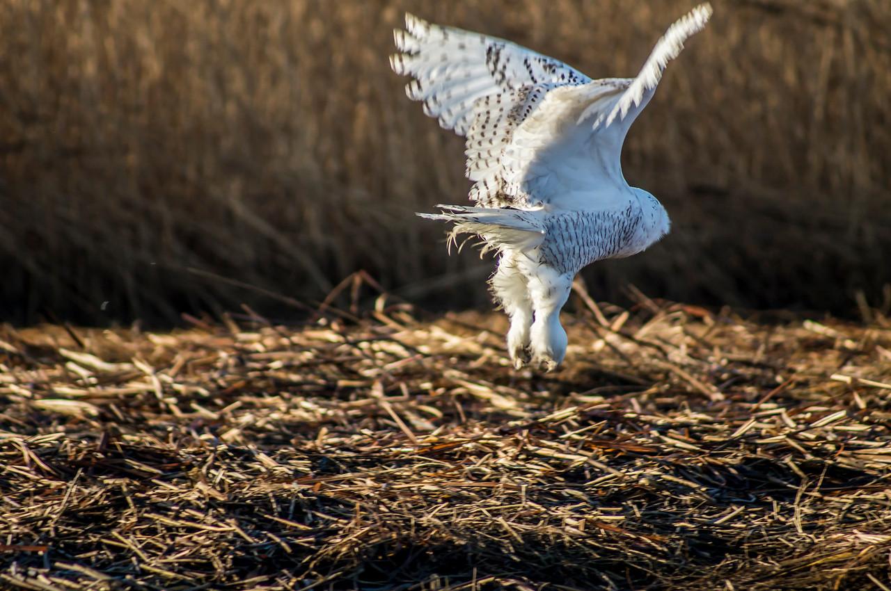 1-17-2014 Snowy Owls 039 SM