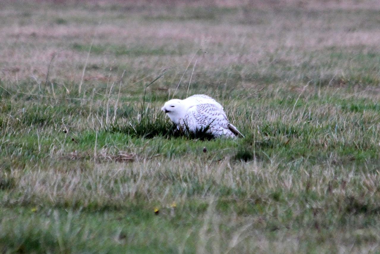 Snowy Owl looking more like a weasel