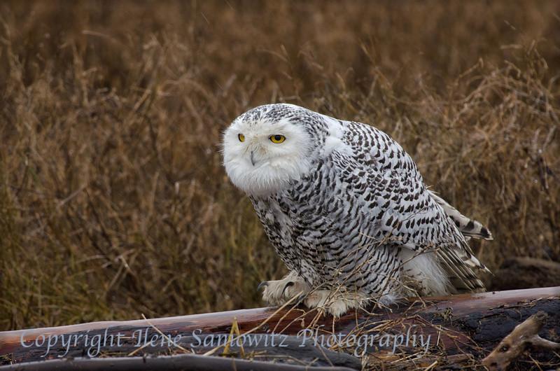 Snowy Owl at Boundary Bay