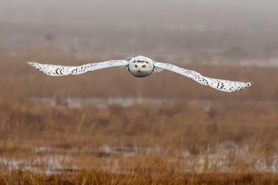 12-11-2015 Snowy Owls 394 SM