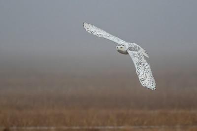 12-11-2015 Snowy Owls 163 SM